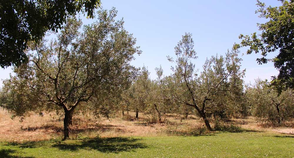 hochwertiges Olivenöl direkt vom Hersteller Chiavalon