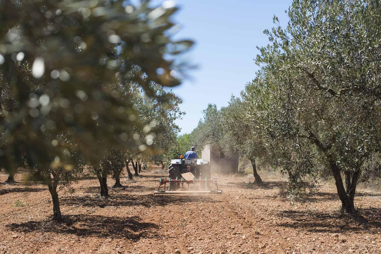 die besten oliven der welt