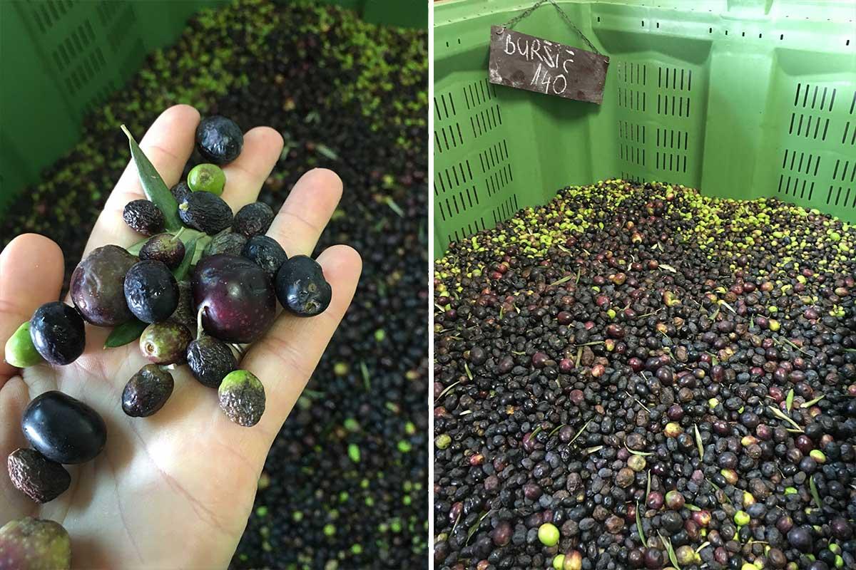 olivenöl katpressung
